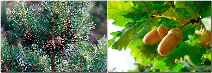 сосна или дуб
